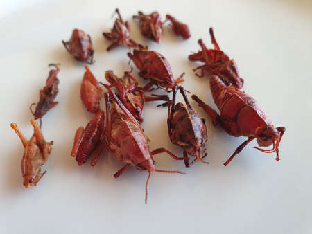 dried red grasshopper for snack food, typical food of Oaxaca, Mexico Stockfoto