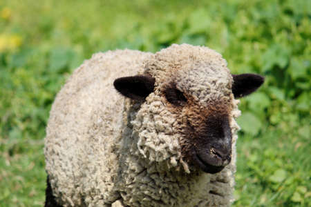 domestic sheep in growing season for sale and consumption of livestock