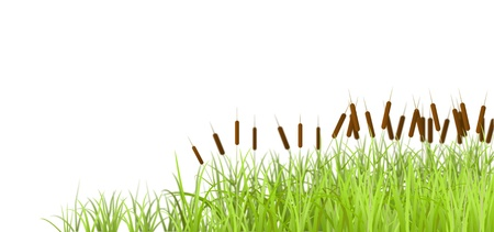 Marsh grass, isolated on white background, is shown in the image.