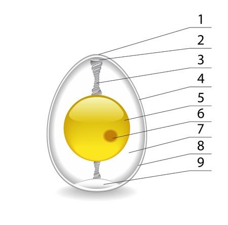 embrion: La estructura del huevo se muestra en la imagen.