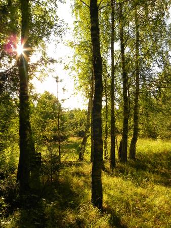arboleda: Bosque de abedules verde muestra. Foto de archivo