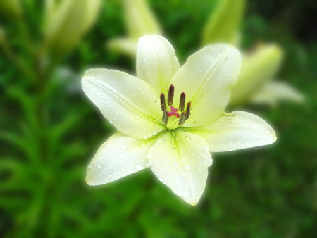 White lily in a flower garden at summer.