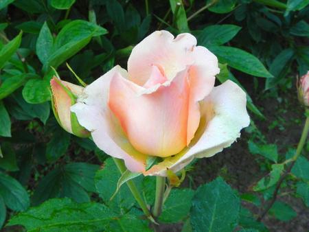 Pink rose in the flower garden.