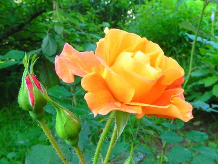 Yellow rose in the flower garden. Stock Photo
