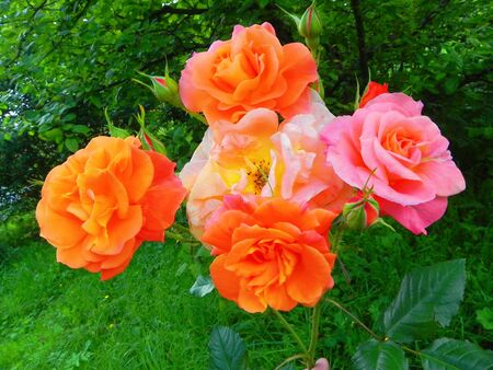 Bright roses with buds are in the summer flower garden.