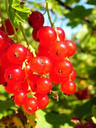 Bunch of ripe red currant berries on a bush in garden.