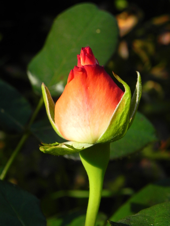 Red rosebud in flower garden