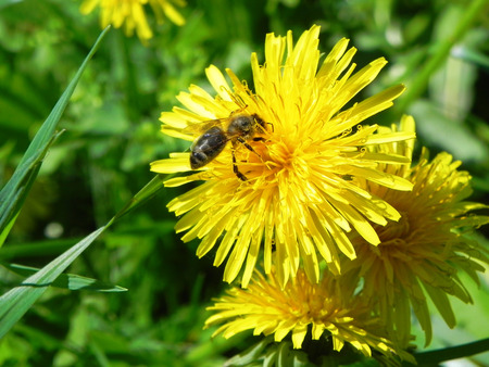 Bee collects honey from a yellow dandelion on a summer meadow.