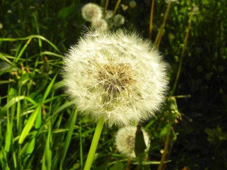 White dandelion flower on the field.