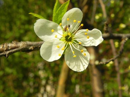 Sweet cherry flower Standard-Bild