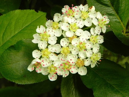 Black chokeberry flowers on a bush branch in a spring garden.