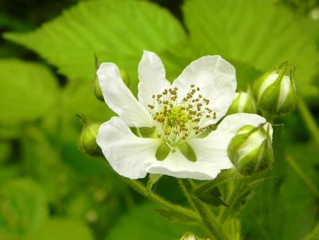 Flower blooming blackberry in the spring garden. Standard-Bild