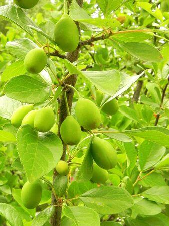 Green unripe plums on the summer garden.