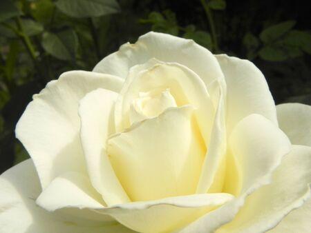 White rose flower in the summer garden, closeup. Standard-Bild