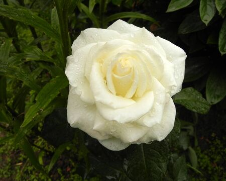 Beautiful flower of white rose with dew drops in the summer garden.