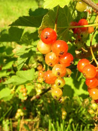 Red currant unripe berries on a branch of a bush in the garden.