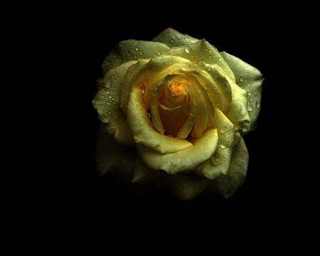 Vintage single rose with dew drops on a black background.                                Standard-Bild