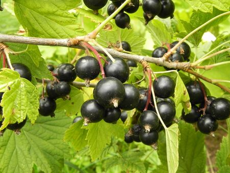 Berries of black currant on a branch of a bush in the garden at summer.          Standard-Bild
