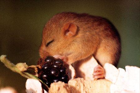kiddie: Hazel dormouse kiddie with blackberry