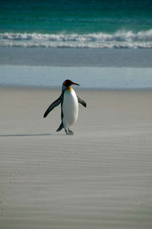 volunteer point: King Penguin (Aptenodytes Patagonicus),Volunteer Point,Falkland Islands