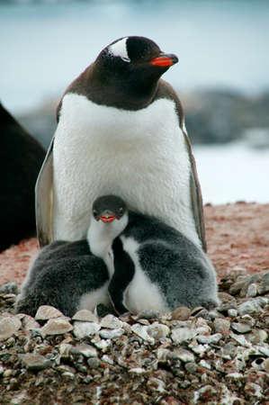 gentoo: Gentoo Penguin and chicks,Hannah Point,Livingston Island,Antarctica