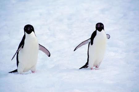 ful: Adelie Penguins (Pygoscelis adeliae),Yalour islands,Antarctica LANG_EVOIMAGES