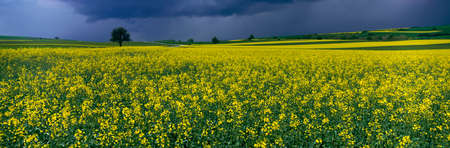 ful: Rape Field,Moselle,Germany