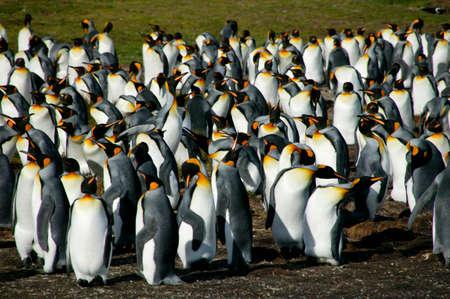 ful: King Penguins,Volunteer Point,Falkland Islands