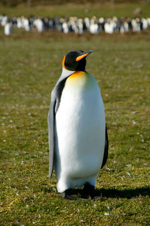 volunteer point: King Penguins,Volunteer Point,Falkland Islands