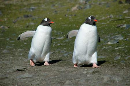 gentoo: Gentoo Penguins,Antarctica