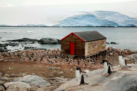 gentoo: Gentoo Penguins near a cabin,Bransfield House,Port Lockroy,Antarctica LANG_EVOIMAGES