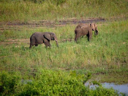 kruger national park: Two elephants walking,Kruger National Park,South Africa LANG_EVOIMAGES