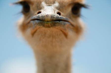 pecker: Portrait of the head of an Ostrich