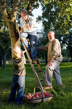 3 세대의 가족 따기 사과, 아들 (7-9) 사과 던지고 사다리에 아버지