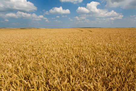 vastness: Clouds in blue sky over wheat field LANG_EVOIMAGES