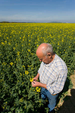examining: Farmer examining rape seed in field