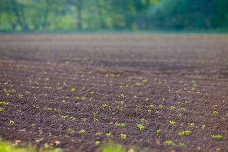 seedlings: Field of potato seedlings LANG_EVOIMAGES