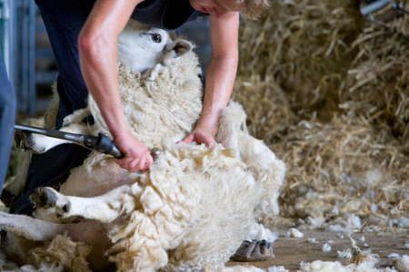 Young farmer shearing sheep for wool in barn LANG_EVOIMAGES