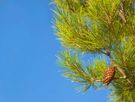 pomme de pin: Close up of pine cone growing on pine tree LANG_EVOIMAGES