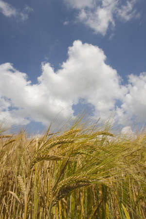 verticals: Clouds in blue sky over barley field