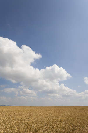 verticals: Clouds in blue sky over wheat field LANG_EVOIMAGES