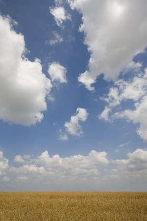 verticals: Clouds in blue sky over barley field