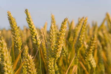 r image: Close up di grano gambo