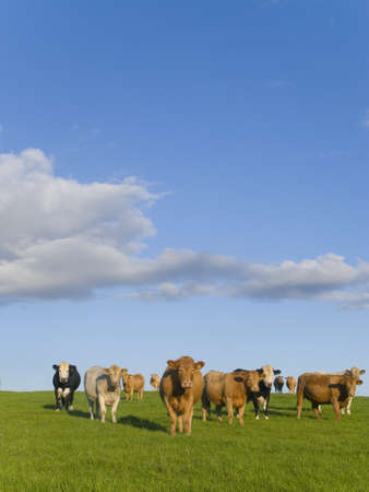verticals: Cows standing in field under clouds in blue sky LANG_EVOIMAGES