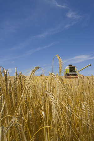 verticals: Combine in barley field