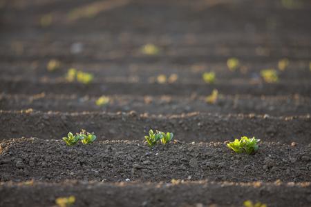 furrow: Close up of potato seedlings LANG_EVOIMAGES