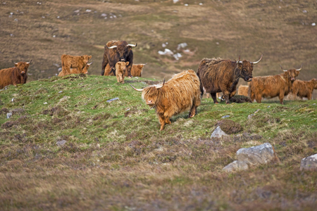 highland: Highland Cattle grazing on moor