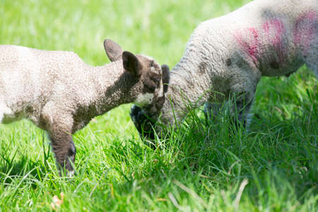 Lambs grazing in green spring grass LANG_EVOIMAGES