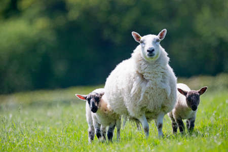 maternal: Portrait sheep and lambs in sunny green spring field