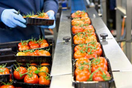 Pracovník balení zralých červených vínových rajčat na výrobní lince v závodě na zpracování potravin